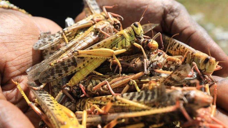 Image result for uganda and locust